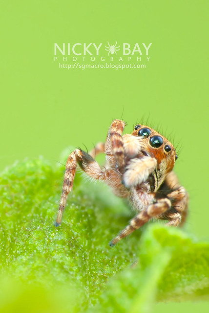 Jumping Spider (Salticidae) - DSC_1912