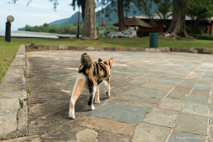 кошка без хвоста в малайзии