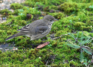Buff-bellied Pipit, Queen Mother Reservoir