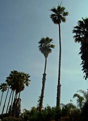 california_palm_trees60