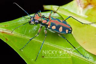Tiger Beetle (Cicindelinae) - DSC_9247