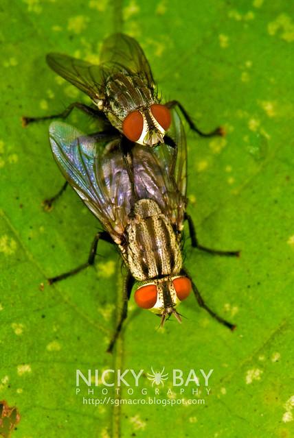 Flesh Flies (Sarcophagidae) - DSC_5041