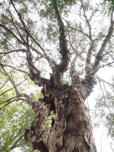 Garden Inventory: Eucalyptus - 10