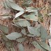 Garden Inventory: Eucalyptus - 04