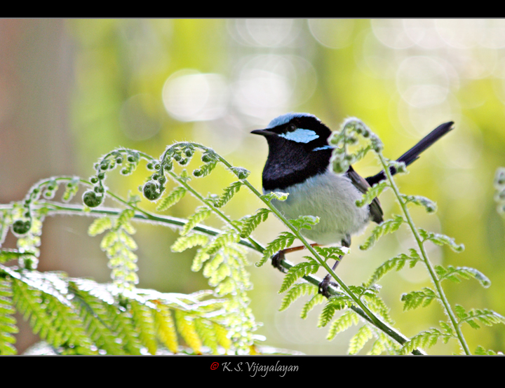 Superb Fairy Wren, Australia