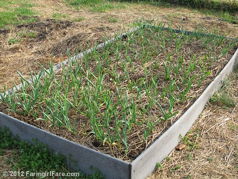 How to grow garlic (5) - the garlic bed on March 16, 2012 - FarmgirlFare.com