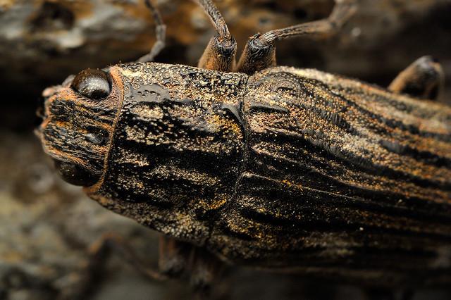 Chalcophora japonica