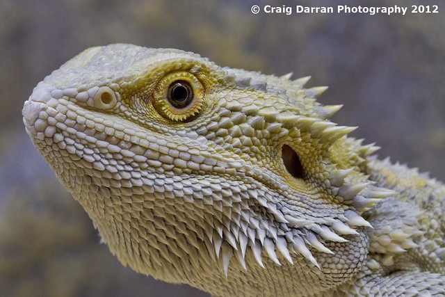 White Bearded Dragon | Flickr - Photo Sharing!
