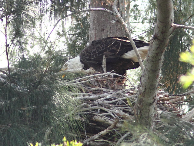 Bald Eagle male tending young 20130103