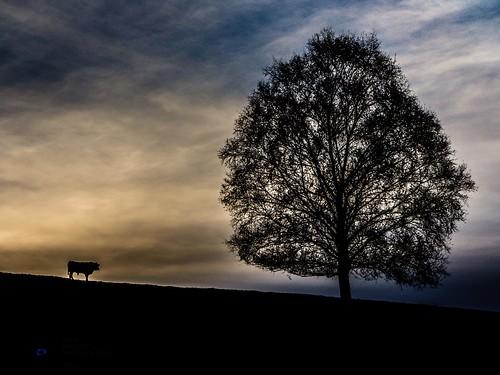 Tree. Bull