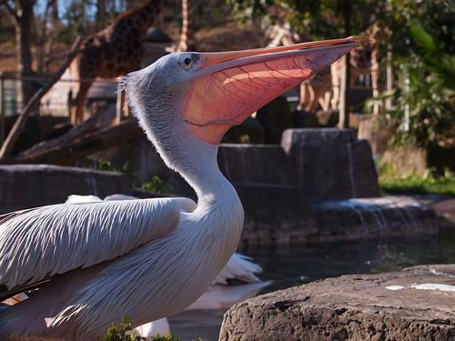 多摩動物公園 コシベニペリカン