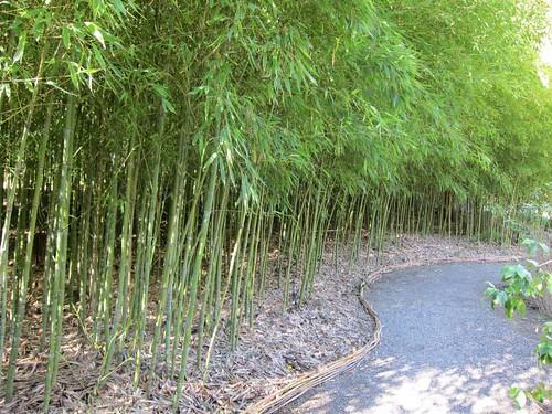 Hakone Japanese Gardens, Saratoga, CA, bamboo IMG_2293