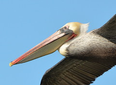 CA Brown Pelican at Seaplane Lagoon, Alameda Point (close-up)