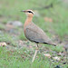 Indian Courser by Koshyk