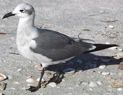 Leucophaeus atricilla (laughing gull)