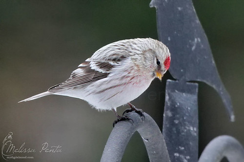 winter ny birds yard finch vestal redpoll