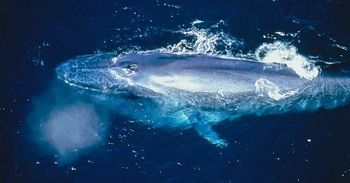 ARKive image GES001650 - Blue whale