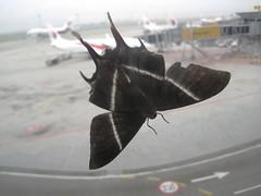 Lyssa sp in Kuala Lumpur International Airport