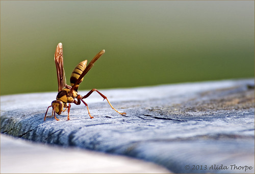 the wasp by Alida's Photos