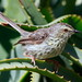 Karoo Prinia - Photo (c) Derek Keats, some rights reserved (CC BY)