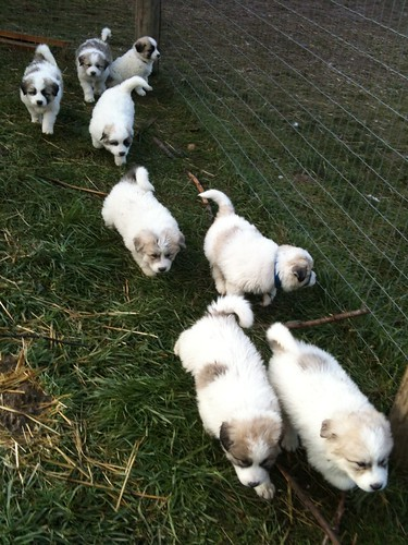 herd of puppies