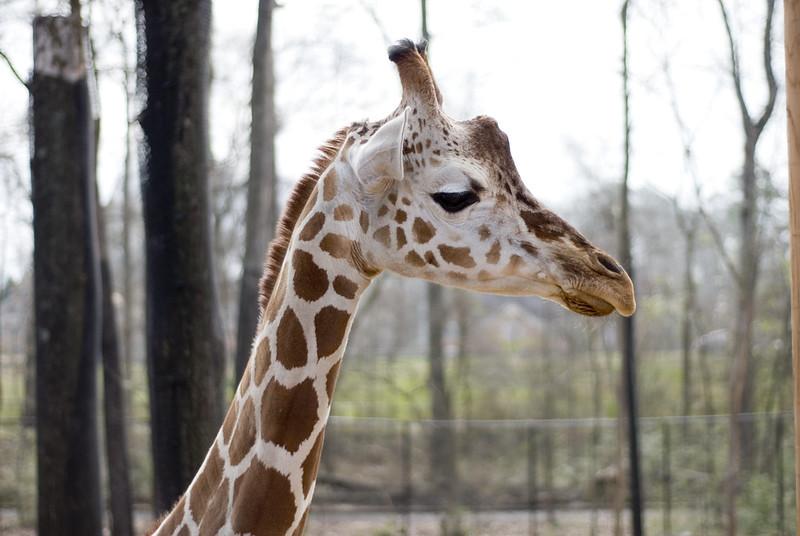 GiraffeProfile