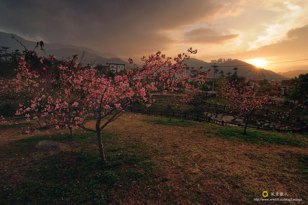夕陽下的櫻花