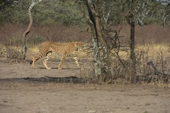 Cheetah in the Ngorongoro Conservation Area (3)