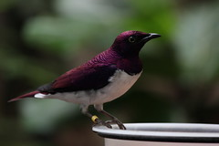 London Zoo - Amethyst starling