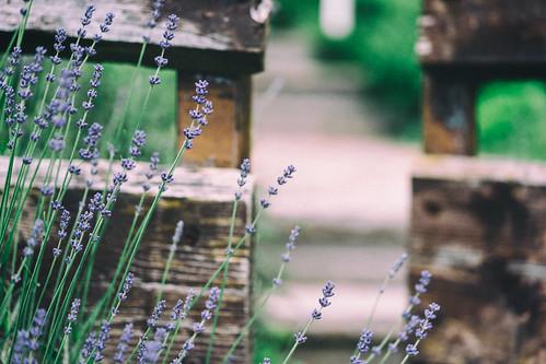 purples on fence (HFF)