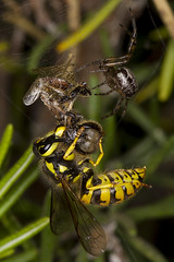 256/366  Yellowjacket stealing a Bee from a spider