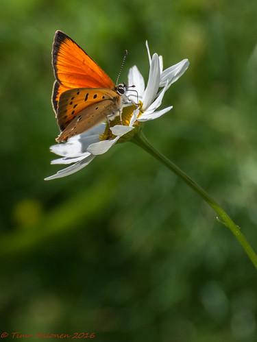 lycaena virgaureae loistokultasiipi scarcecopper fjäril liblikas vlinder papillion sommerfugl farfalla tagfalter päiväperhonen lycaenidae nikon dx fx d5200 nikkor 70300mm zoom