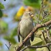 Small Tree Finch Santa Cruz Galápagos tagged by peterleanranger