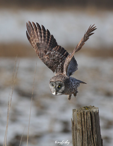 ontario bird grey flying inflight great gray flight off raptor owl take kingsville code2