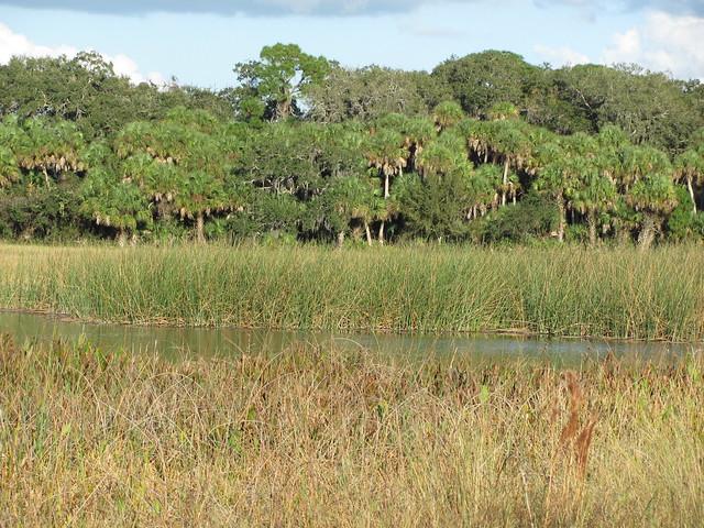 Sable Palm grove
