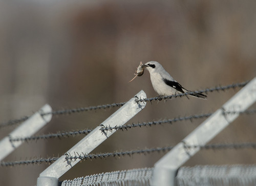 Shrike and Shrew_49414.jpg