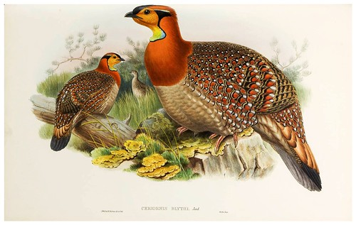021-Blyth's Horned Pheasant-The birds of Asia vol. VII-Gould, J.-Science .Naturalis
