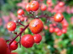 shrub(0.0), acerola(0.0), flower(0.0), branch(0.0), plant(0.0), crataegus pinnatifida(0.0), produce(0.0), food(0.0), rose hip(0.0), cloudberry(0.0), lingonberry(0.0), evergreen(1.0), berry(1.0), flora(1.0), fruit(1.0), rowan(1.0), hawthorn(1.0),