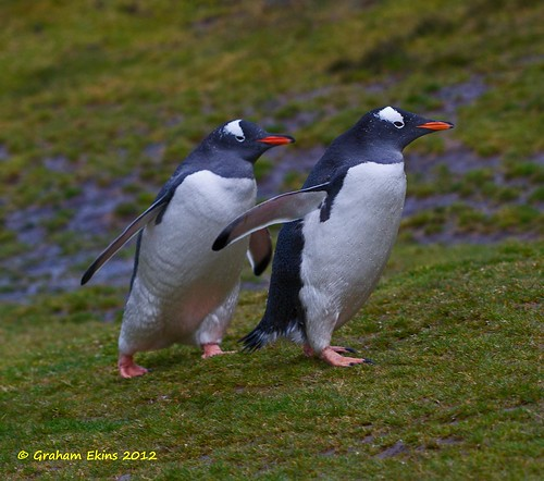 Gentoo Penguins,   Pygoscelis papua ,   Cooper's Beach and  Stromness valley, South Georgia, by Graham Ekins