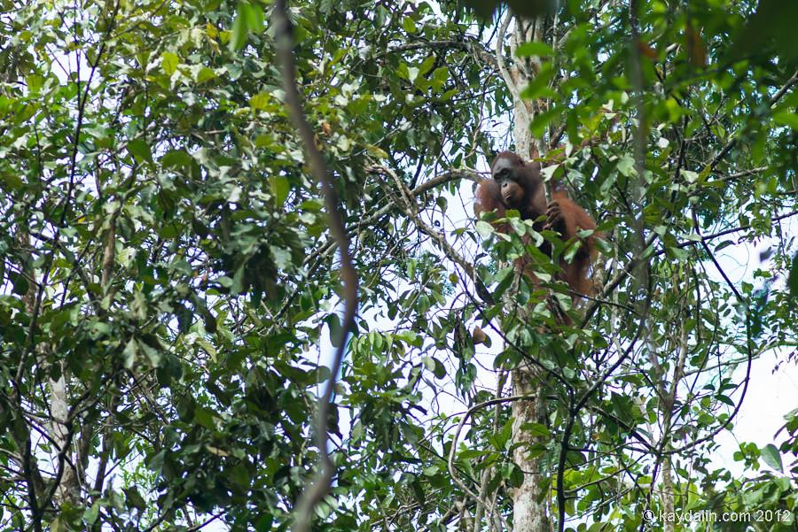 орангутанг в деревьях