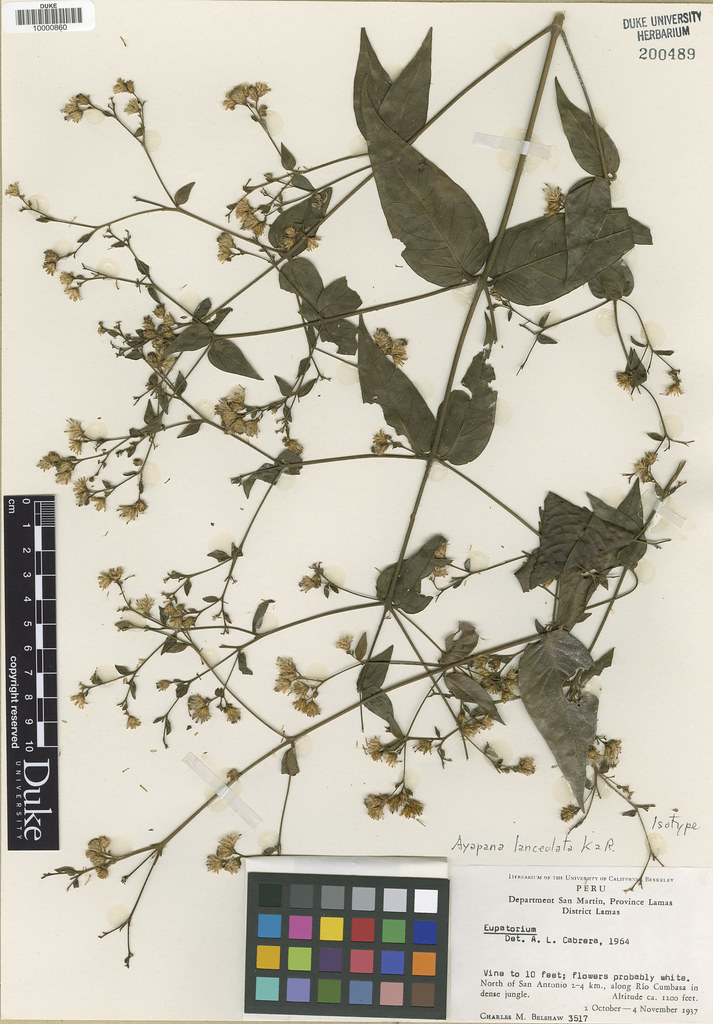 Asteraceae_Ayapana lanceolata