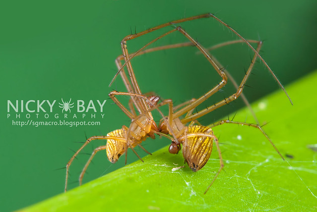 Striated Tylorida Spiders (Tylorida striata) - DSC_3242