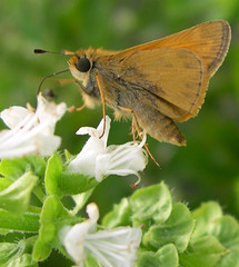 Male Sachem Skipper?