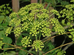 apiales(0.0), vegetable(0.0), cow parsley(0.0), galium odoratum(0.0), produce(0.0), food(0.0), shrub(1.0), flower(1.0), cicely(1.0), plant(1.0), mustard(1.0), subshrub(1.0), anthriscus(1.0), angelica(1.0), meadowsweet(1.0), caraway(1.0),