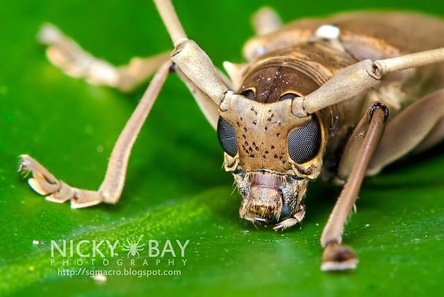 Mangrove Longhorn Beetle (Aeolesthes holosericeus) - DSC_0614