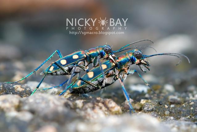 Tiger Beetle (Cicindelinae) - DSC_9837
