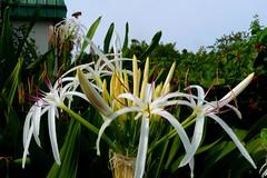 lily(0.0), floristry(0.0), hymenocallis(1.0), flower(1.0), garden(1.0), grass(1.0), hymenocallis littoralis(1.0), plant(1.0), flora(1.0),