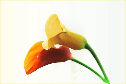 Carla Flowers 1 by T.takako