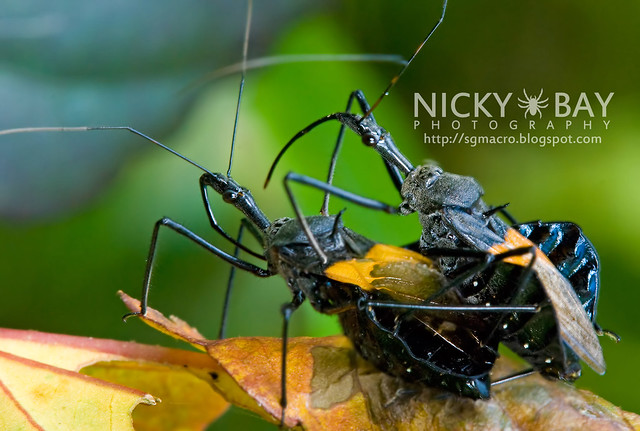 Assassin Bug (Reduviidae) - DSC_8155