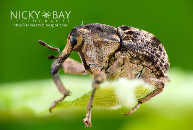 Weevil (Curculionidae) - DSC_9434
